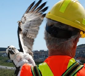Launch of the First Osprey NestCam in Newfoundland and Labrador